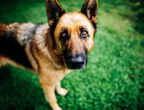 Quantos anos vive um pastor alemão? Saiba a expectativa de vida de um pastor alemão e como cuidar do seu cão
