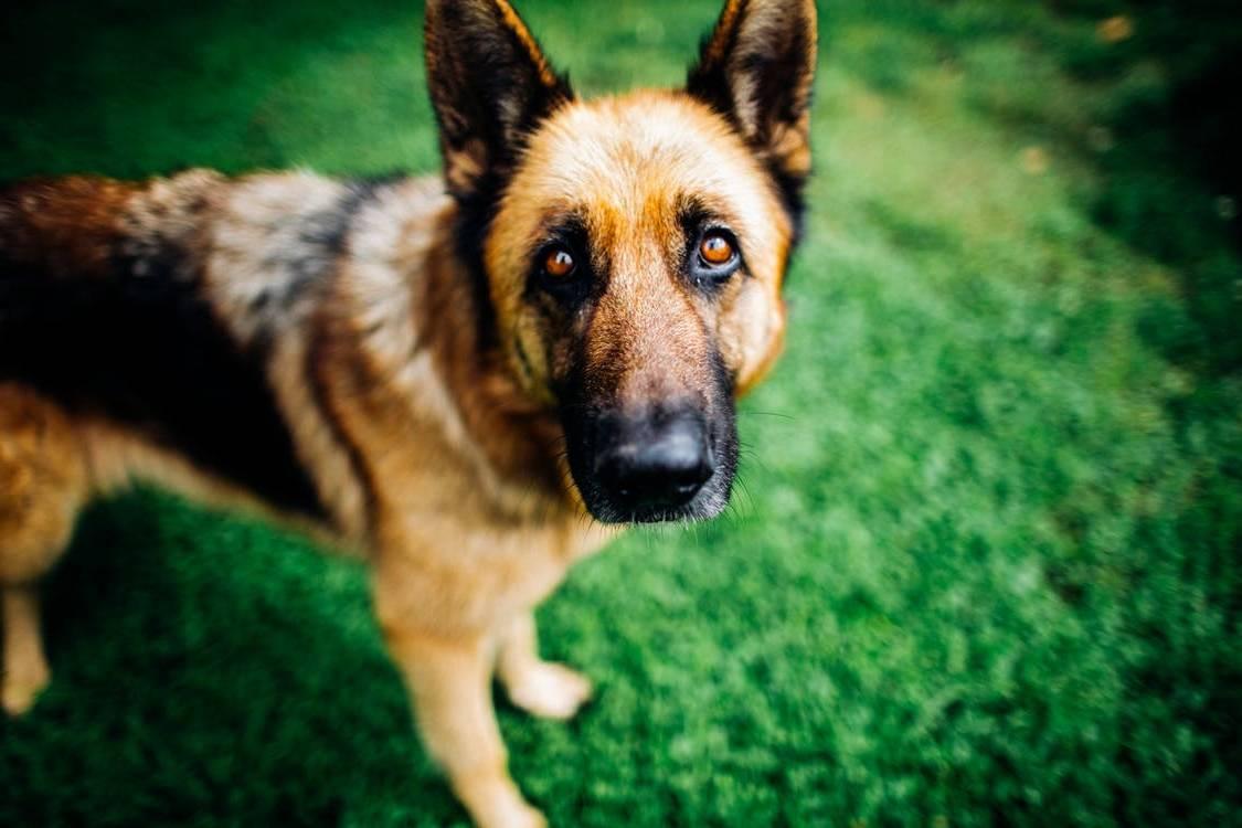 Quantos anos vive um pastor alemão? Saiba a expectativa de vida de um pastor alemão e como cuidar do seu cão 13