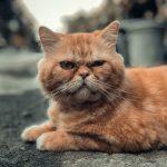 Quais são os sintomas da insuficiência renal em estágio terminal em gatos? 3