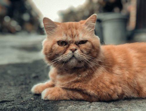 Quais são os sintomas da insuficiência renal em estágio terminal em gatos?
