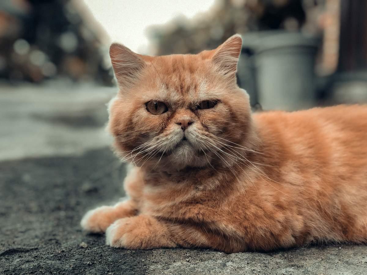Quais são os sintomas da insuficiência renal em estágio terminal em gatos? 1