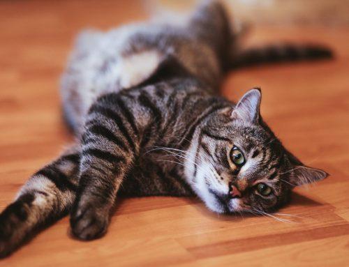 Por que meu gato está perdendo peso?