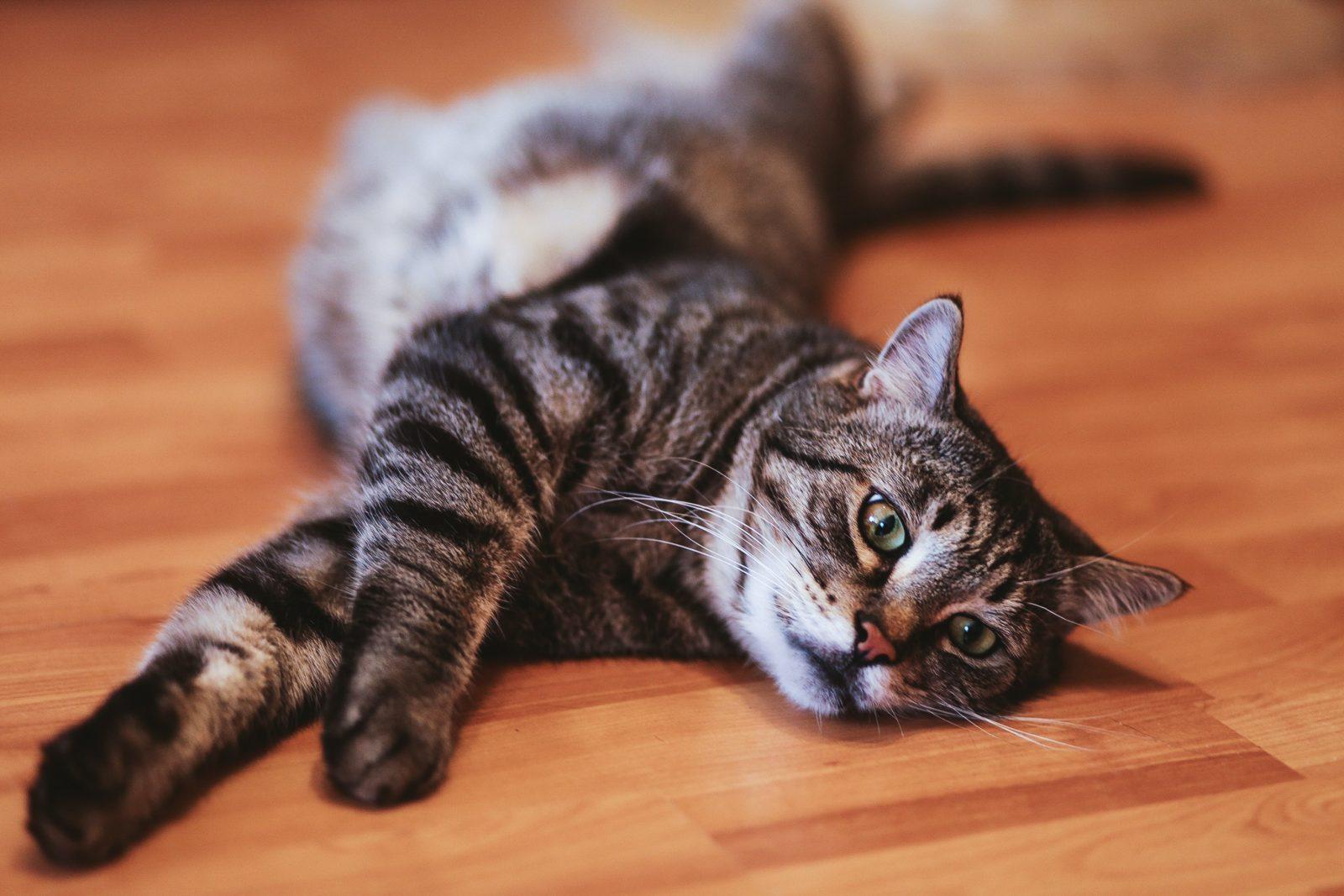 Por que meu gato está perdendo peso? 1