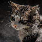 Como identificar infecções oculares de gato 11