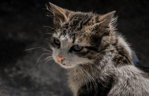 Como identificar infecções oculares de gato 1