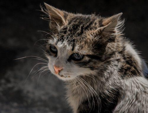 Como identificar infecções oculares de gato