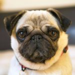 Problemas comuns na saúde do Pug: conheça as principais doenças e cuidados 1