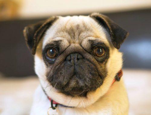 Problemas comuns na saúde do Pug: conheça as principais doenças e cuidados