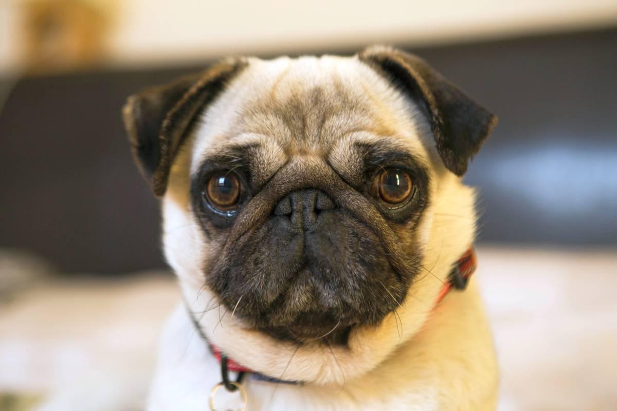 Problemas comuns na saúde do Pug: conheça as principais doenças e cuidados 11