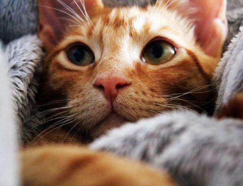 Gato com respiração pesada e ofegante: dispnéia felina