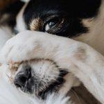 Cachorro com baixo açúcar no sangue: o que fazer 2