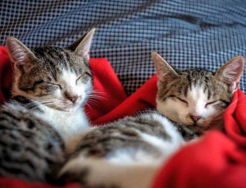 Como identificar o sexo de um gato: 3 formas de descobrir